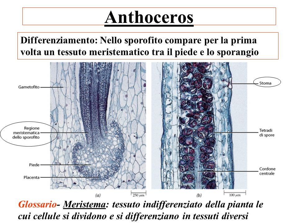 Anthoceros Differenziamento: Nello sporofito compare per la prima volta un tessuto meristematico tra il piede e lo sporangio.