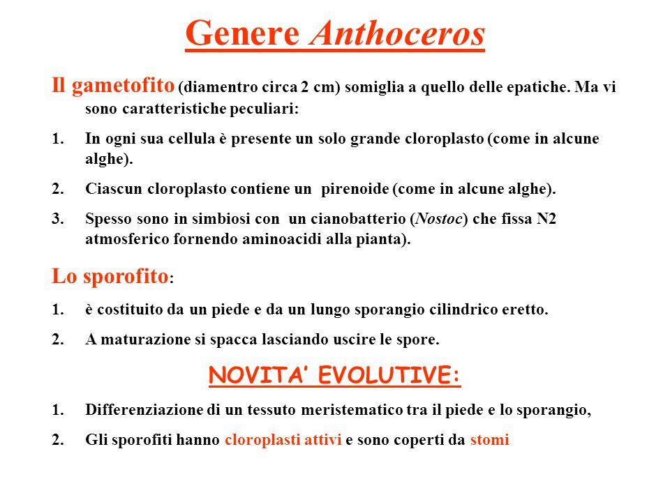Genere Anthoceros Il gametofito (diamentro circa 2 cm) somiglia a quello delle epatiche. Ma vi sono caratteristiche peculiari: