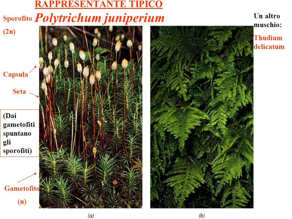 RAPPRESENTANTE TIPICO Polytrichum juniperium