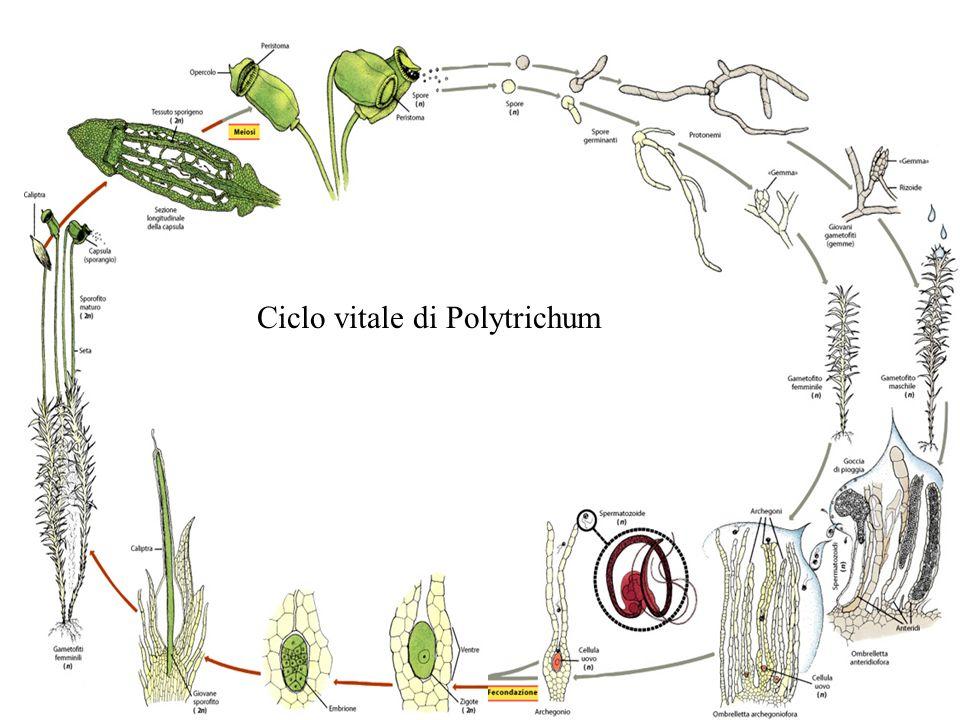 Ciclo vitale di Polytrichum