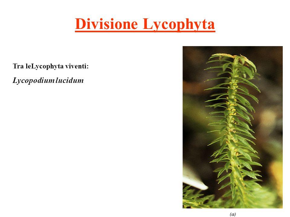Divisione Lycophyta Tra leLycophyta viventi: Lycopodium lucidum