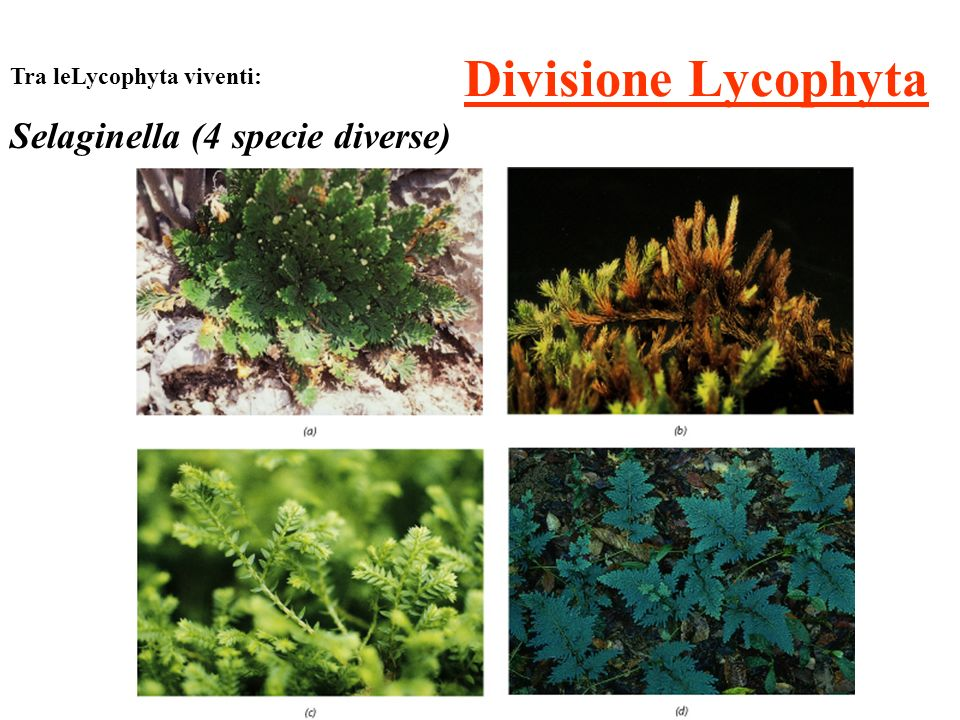Divisione Lycophyta Selaginella (4 specie diverse)