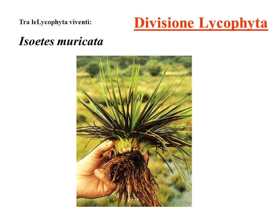 Divisione Lycophyta Tra leLycophyta viventi: Isoetes muricata