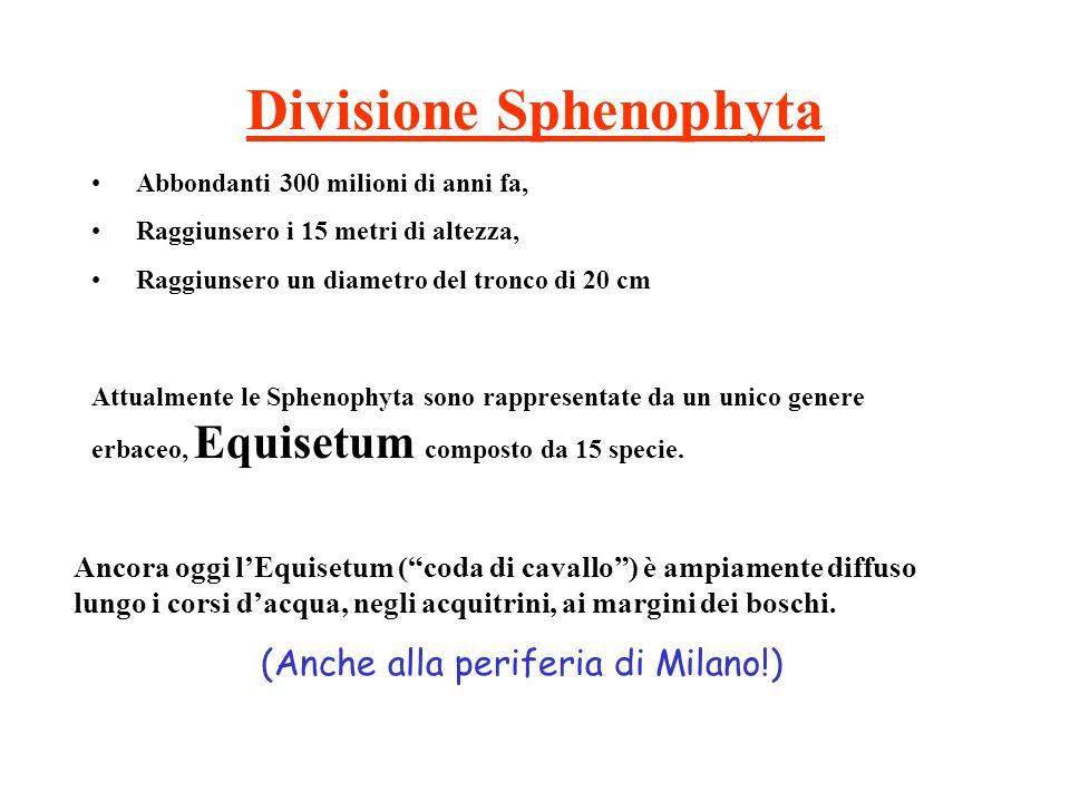 Divisione Sphenophyta