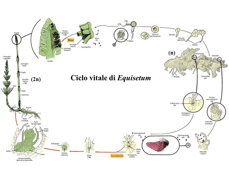 Ciclo vitale di Equisetum
