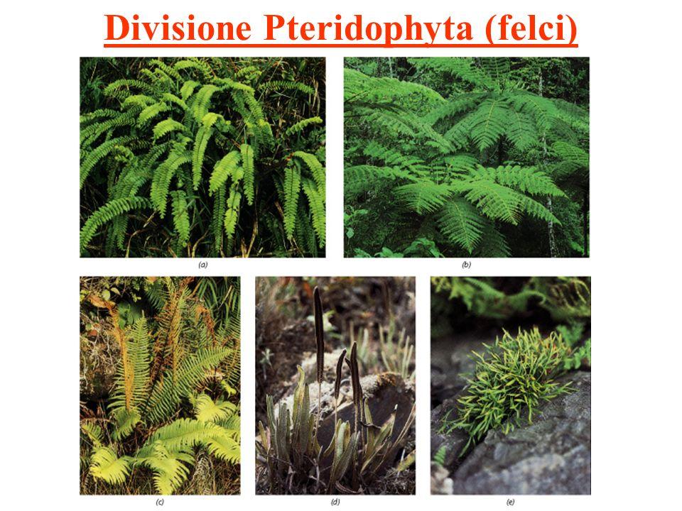 Divisione Pteridophyta (felci)