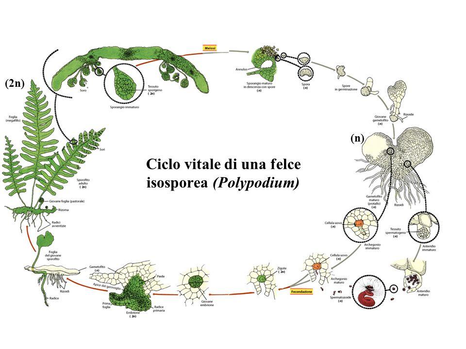 Ciclo vitale di una felce isosporea (Polypodium)