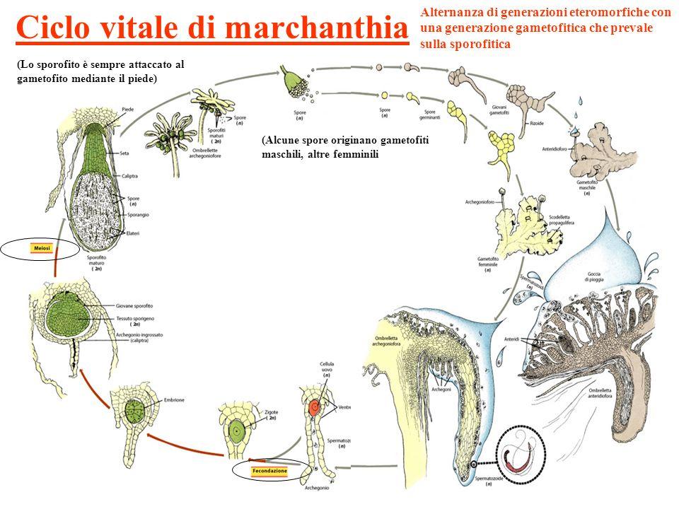 Ciclo vitale di marchanthia