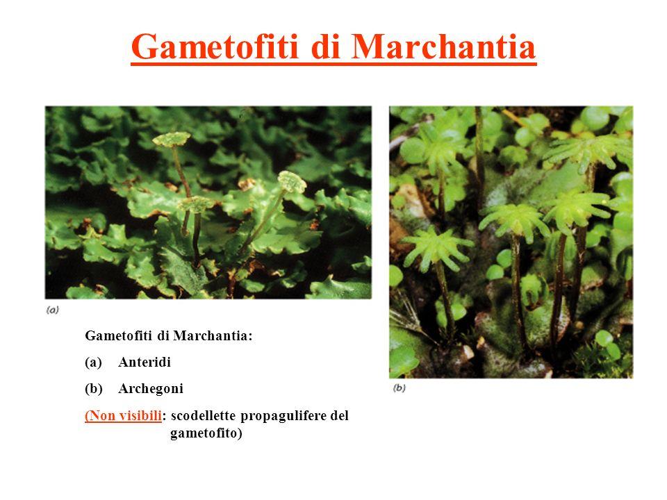 Gametofiti di Marchantia