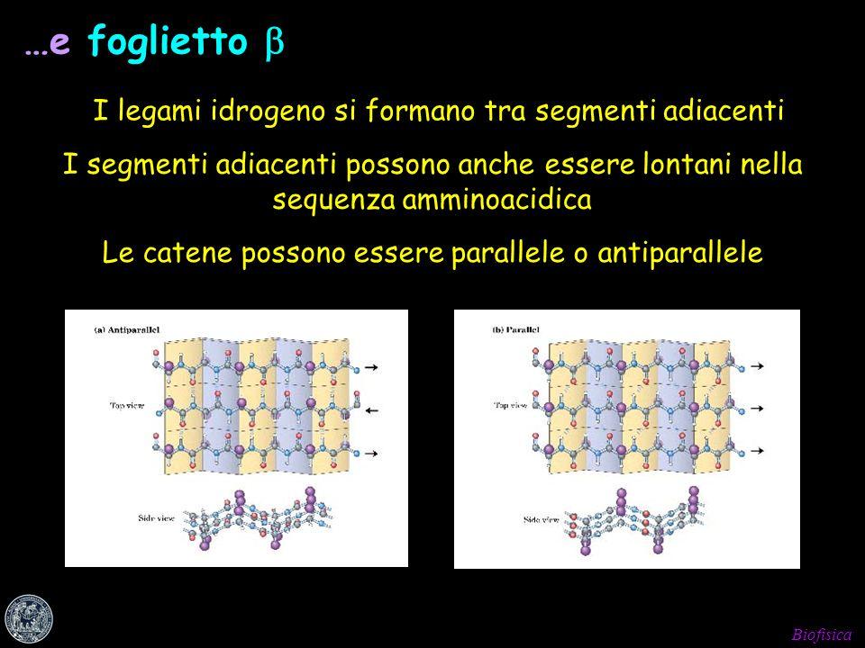 …e foglietto  I legami idrogeno si formano tra segmenti adiacenti