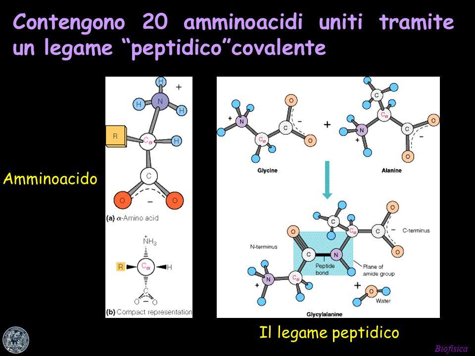 Contengono 20 amminoacidi uniti tramite un legame peptidico covalente