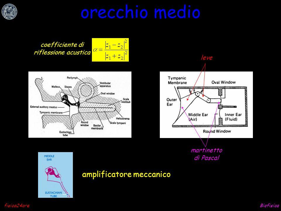 orecchio medio amplificatore meccanico coefficiente di
