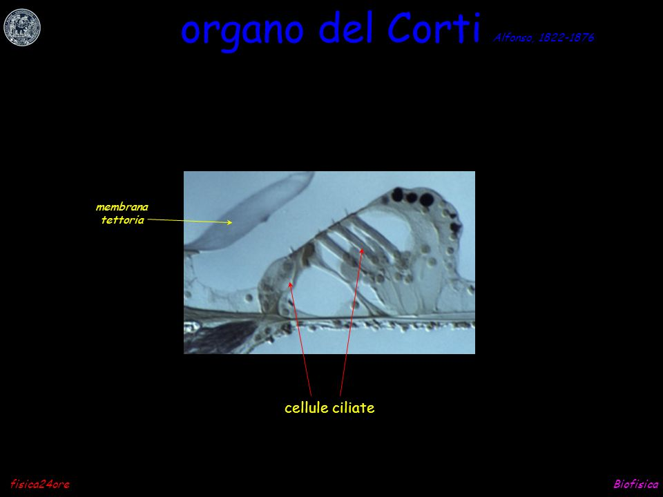 organo del Corti cellule ciliate Alfonso, 1822-1876 membrana tettoria