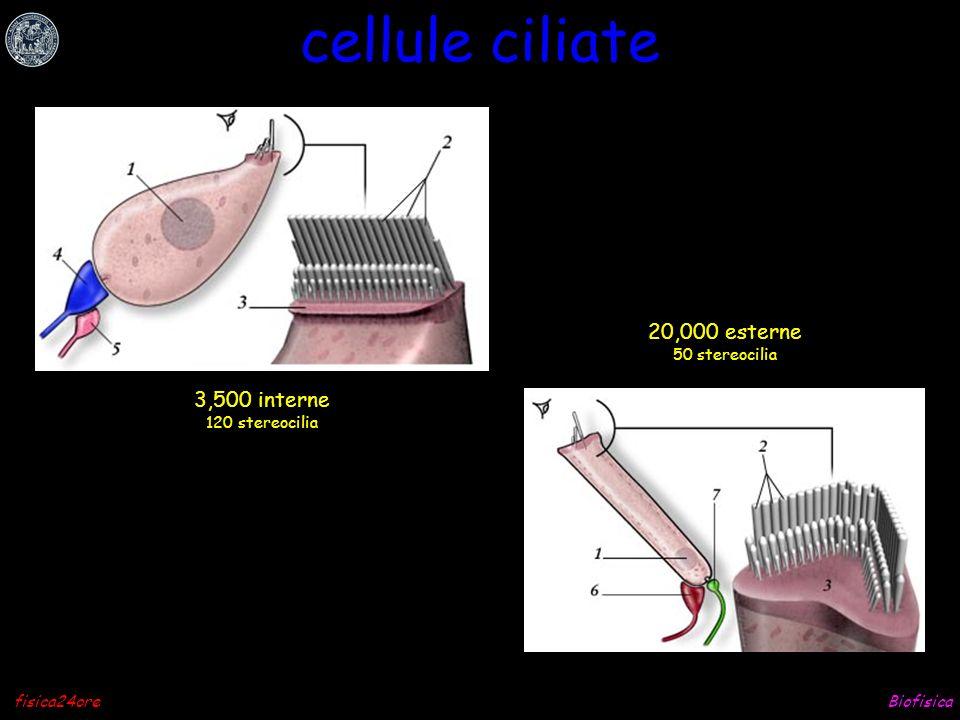 cellule ciliate 20,000 esterne 3,500 interne 50 stereocilia
