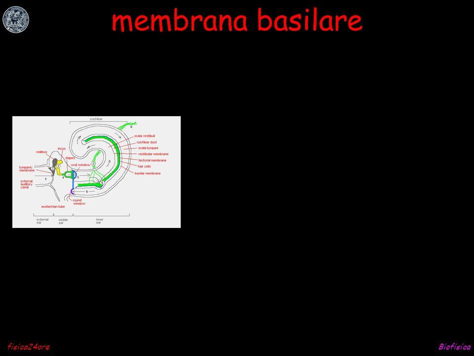 membrana basilare fisica24ore