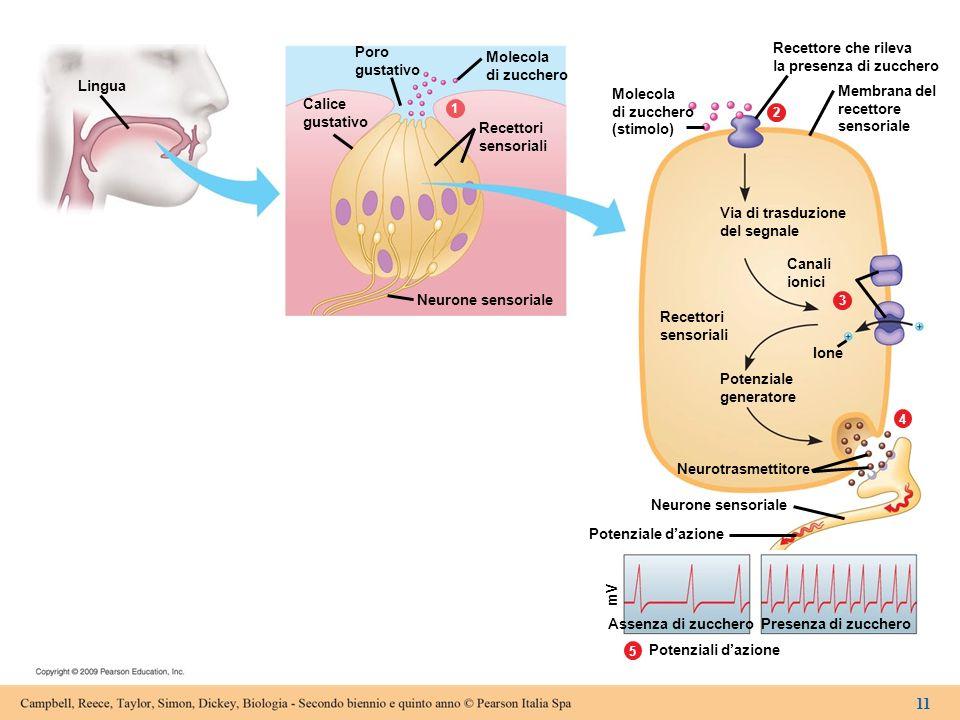 Figura 15.2a La trasduzione sensoriale a livello dei calici gustativi.