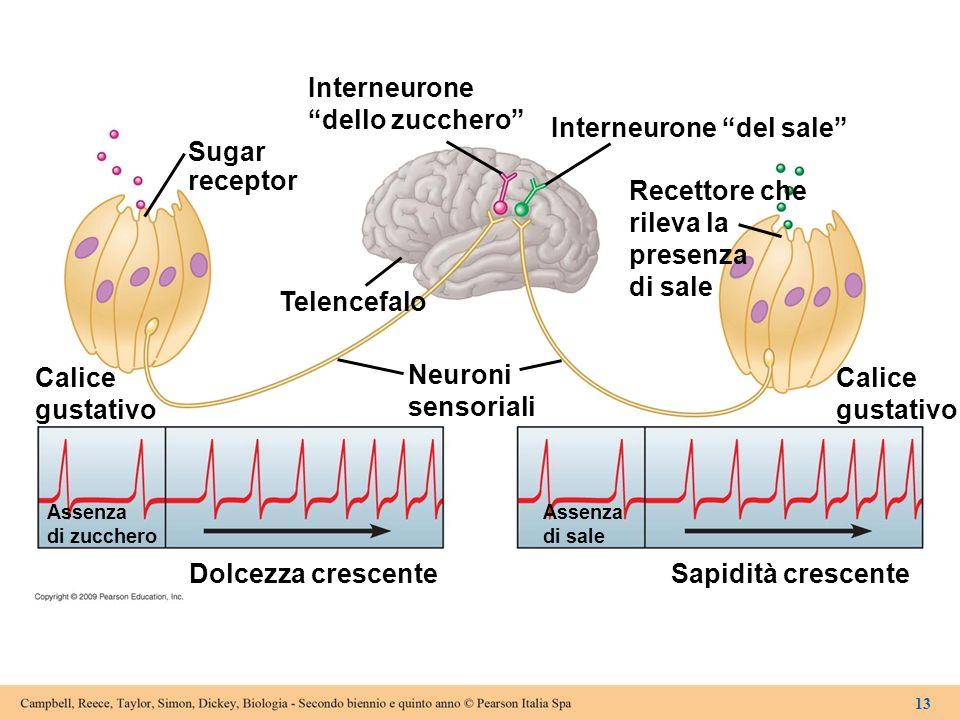 Interneurone del sale Sugar receptor Recettore che rileva la