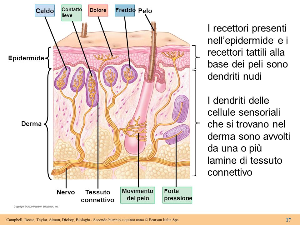 CaldoContatto. lieve. Dolore. Freddo. Pelo. I recettori presenti nell'epidermide e i recettori tattili alla base dei peli sono dendriti nudi.
