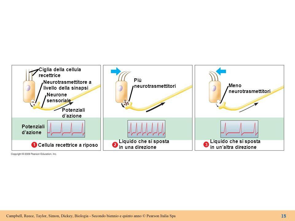 Figura 15.3B Una cellula ciliata rileva il movimento di un liquido.