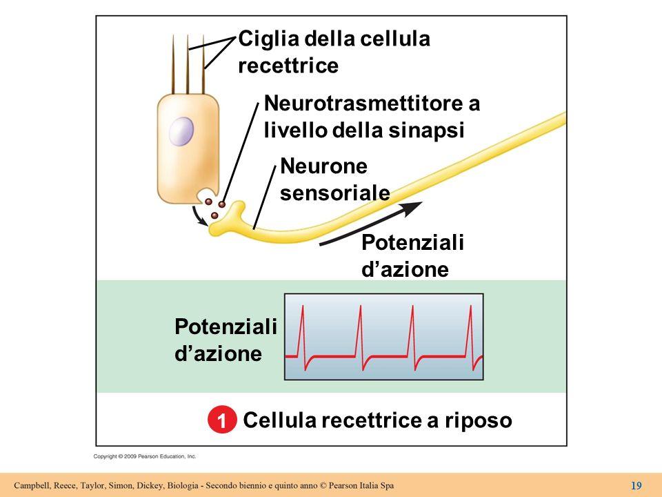 Cellula recettrice a riposo
