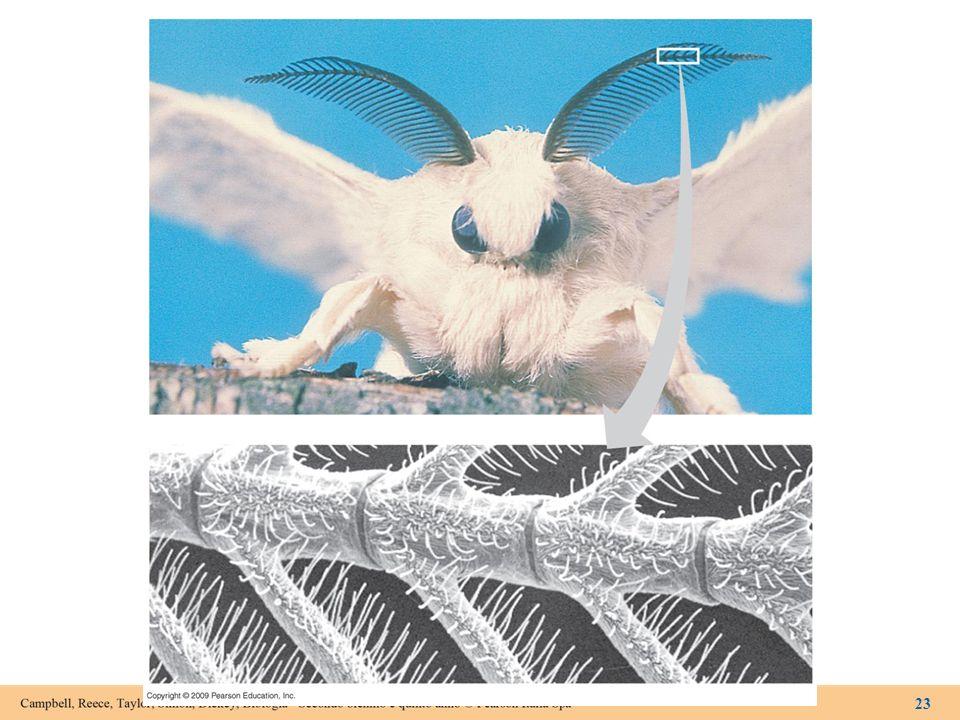 Figura 15.3C Chemocettori sulle antenne di Bombyx mori.
