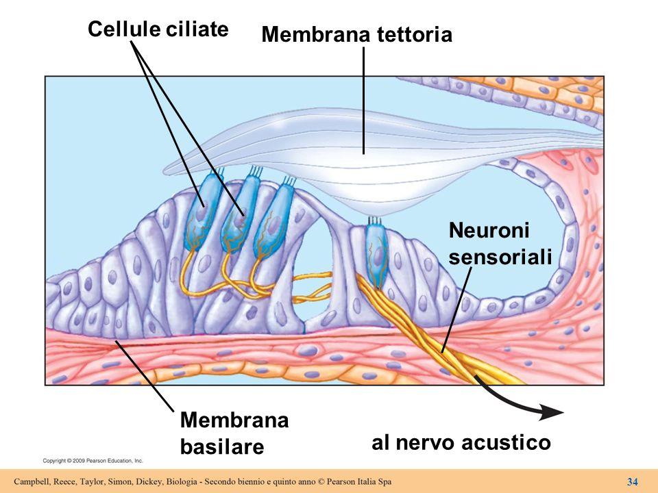 Cellule ciliate Membrana tettoria Neuroni sensoriali Membrana basilare
