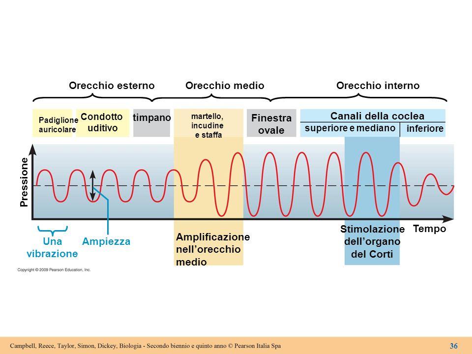 Finestra ovale Stimolazione dell'organo del Corti Una vibrazione