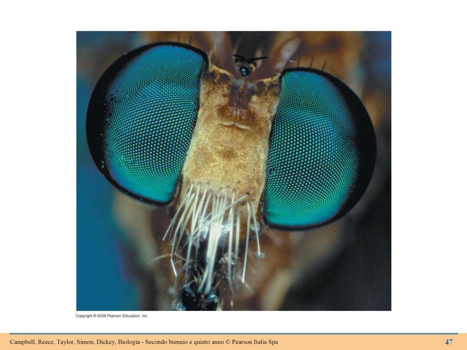 Figura 15.6B Occhi composti di una mosca.