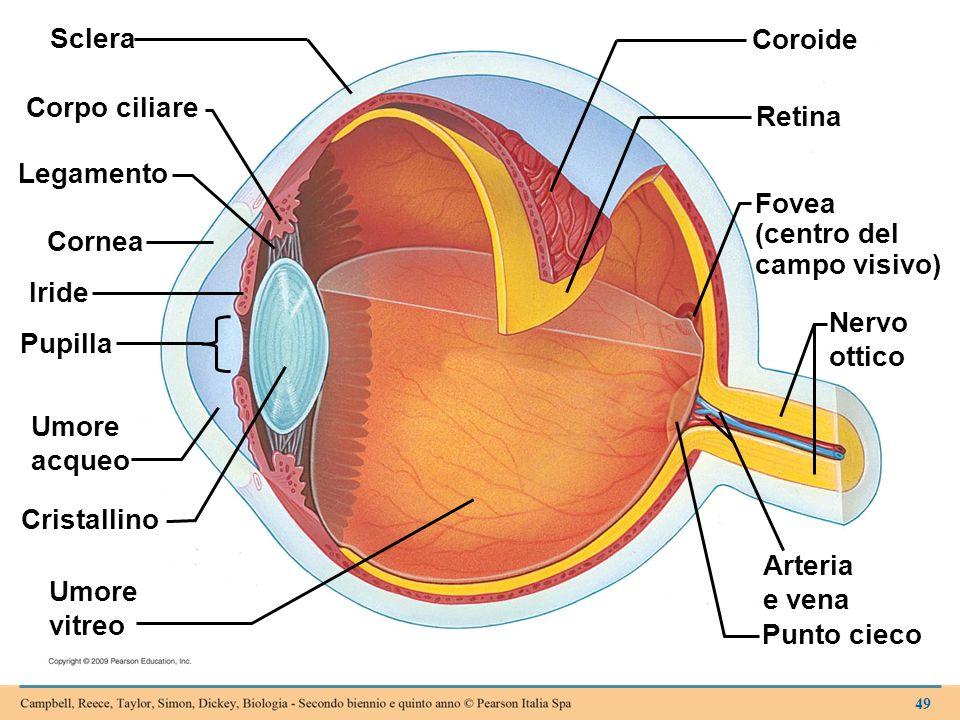 Sclera Coroide Corpo ciliare Retina Legamento Fovea (centro del