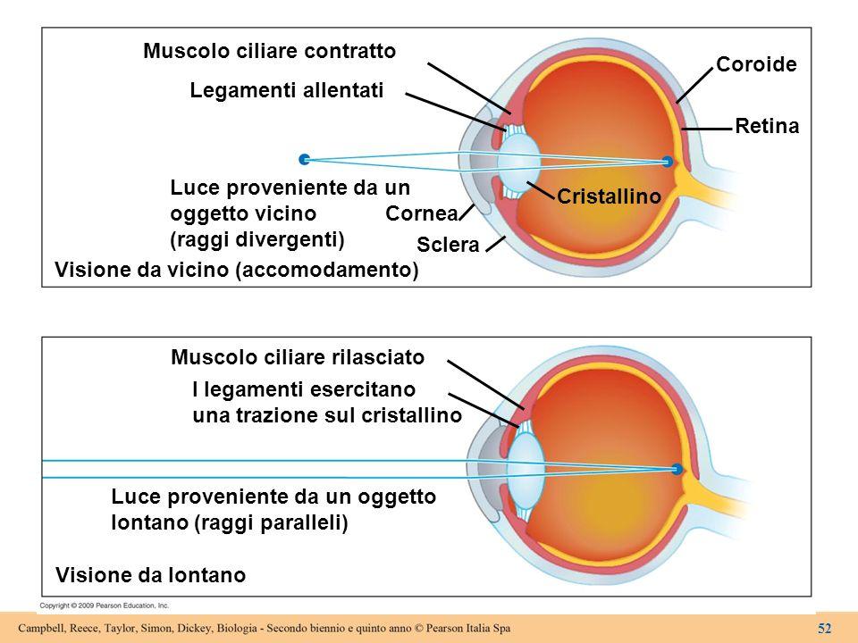 Muscolo ciliare contratto Coroide Legamenti allentati