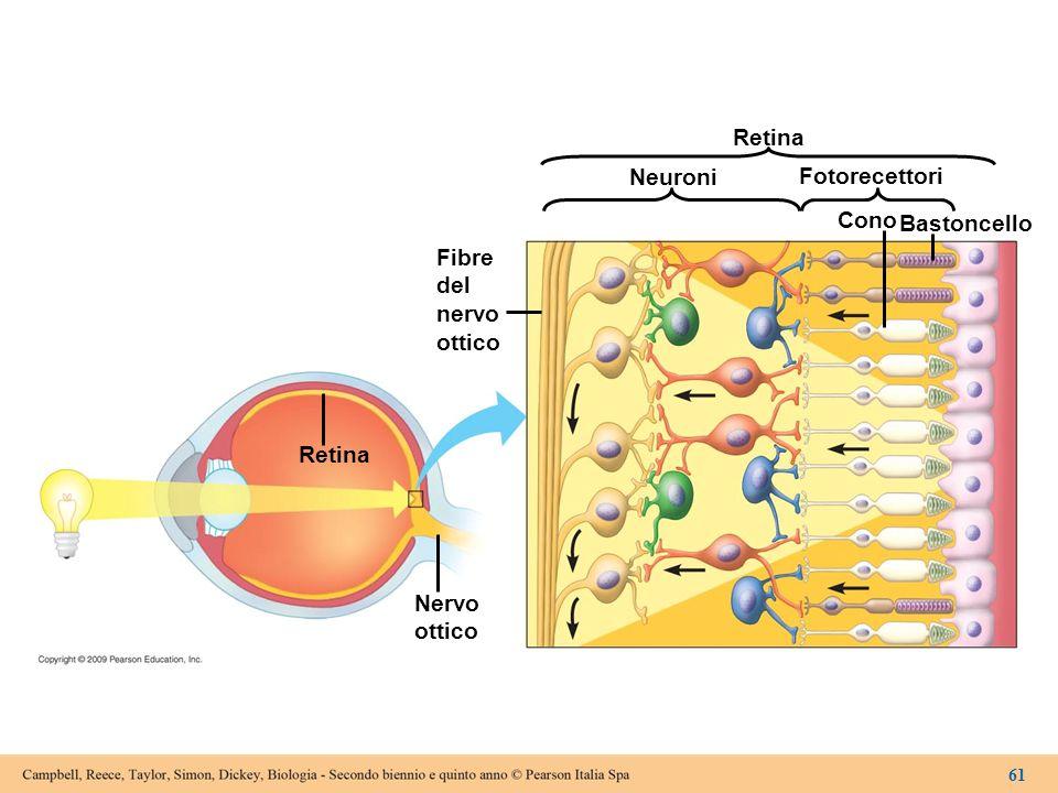Retina Neuroni Fotorecettori Cono Bastoncello Fibre del nervo ottico