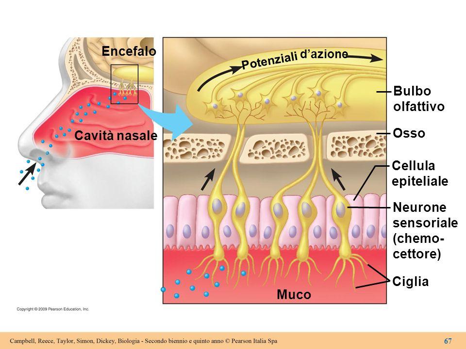 Encefalo Bulbo olfattivo Osso Cavità nasale Cellula epiteliale Neurone