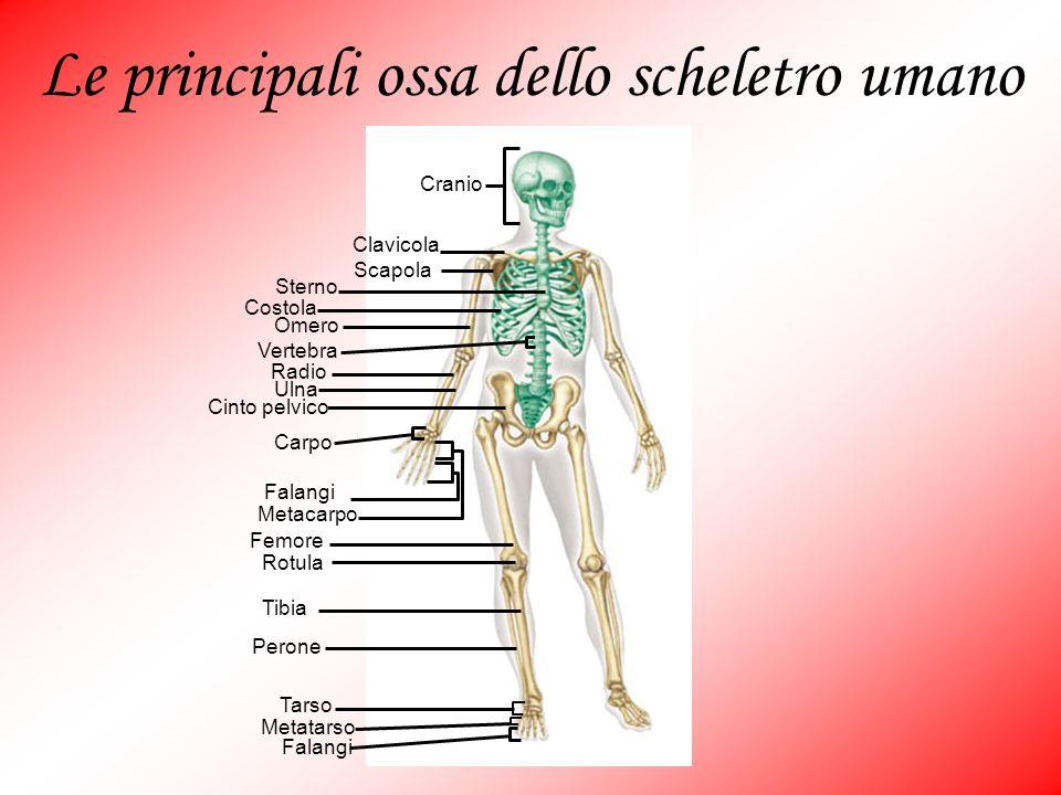 Le principali ossa dello scheletro umano