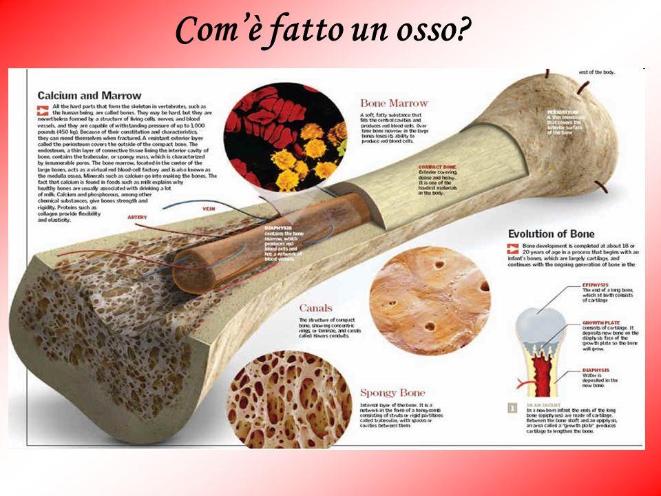 Com'è fatto un osso