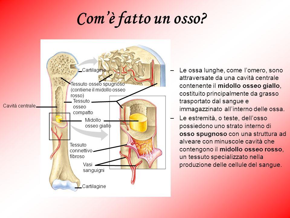 Com'è fatto un osso Cartilagine. Vasi. sanguigni. Tessuto. connettivo. fibroso. Midollo. osseo giallo.