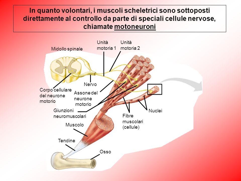 In quanto volontari, i muscoli scheletrici sono sottoposti direttamente al controllo da parte di speciali cellule nervose, chiamate motoneuroni