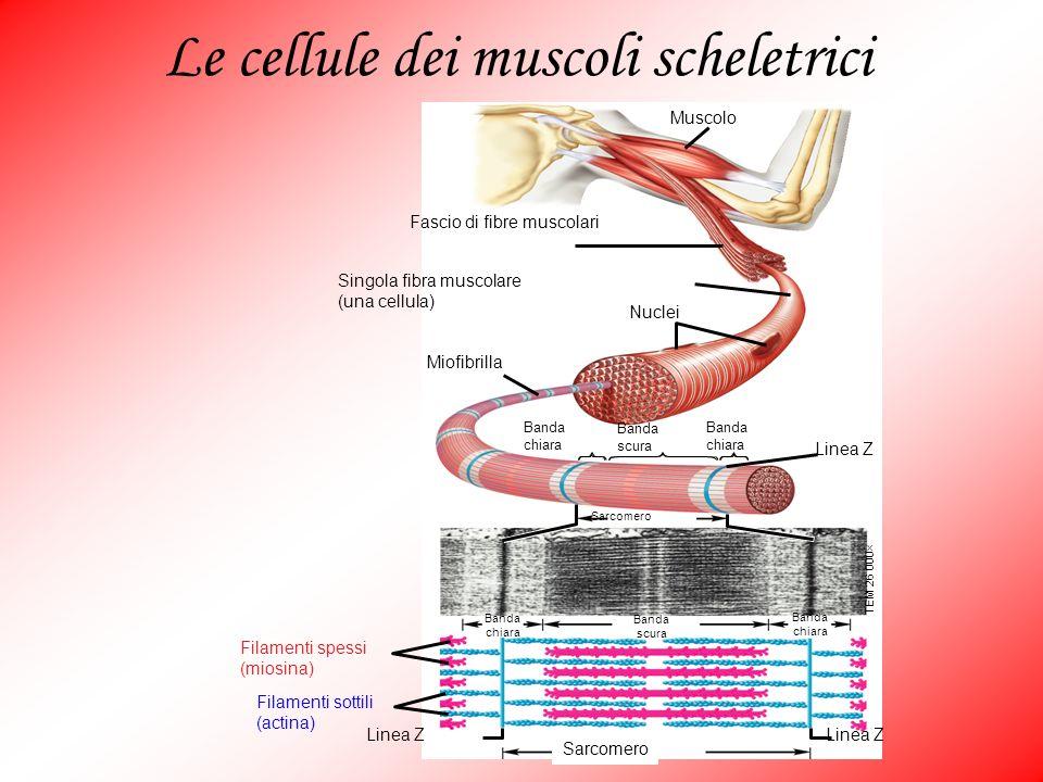 Le cellule dei muscoli scheletrici