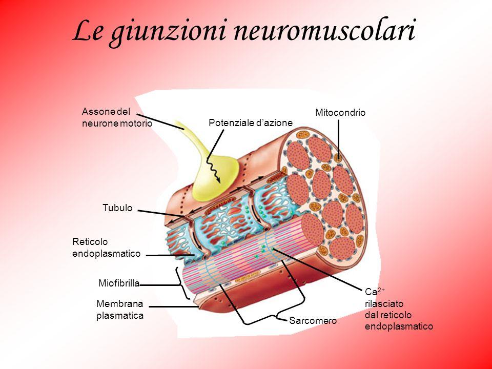 Le giunzioni neuromuscolari