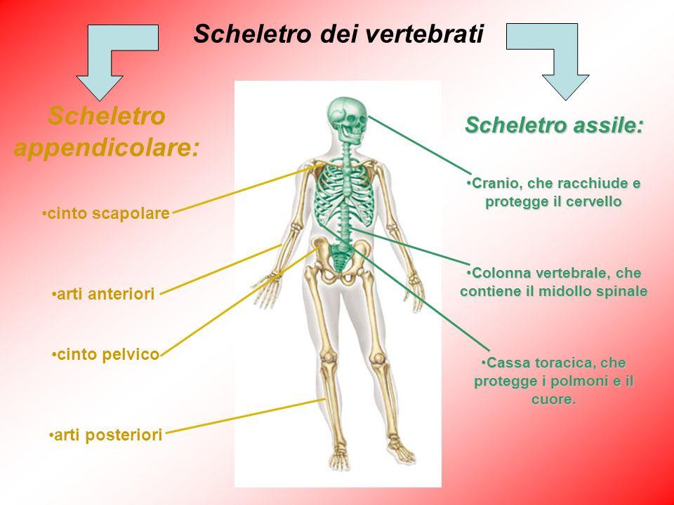 Scheletro dei vertebrati Scheletro appendicolare:
