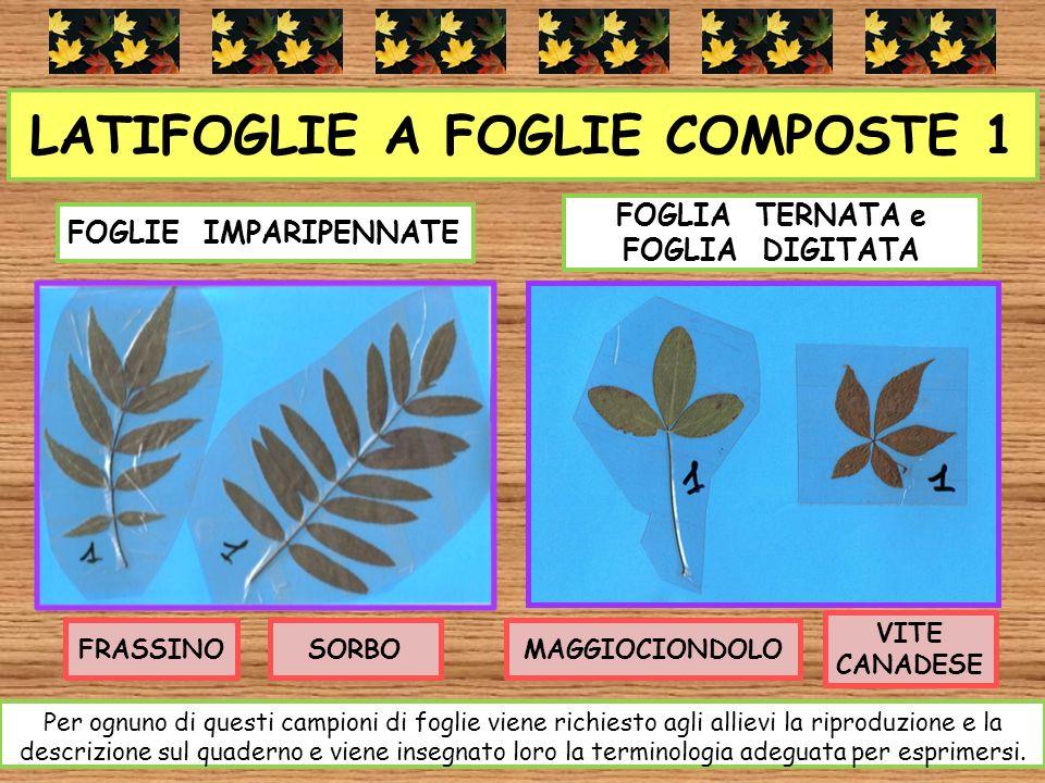 LATIFOGLIE A FOGLIE COMPOSTE 1