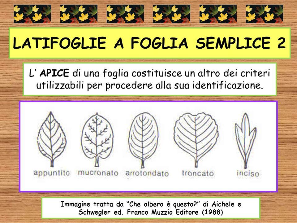 LATIFOGLIE A FOGLIA SEMPLICE 2
