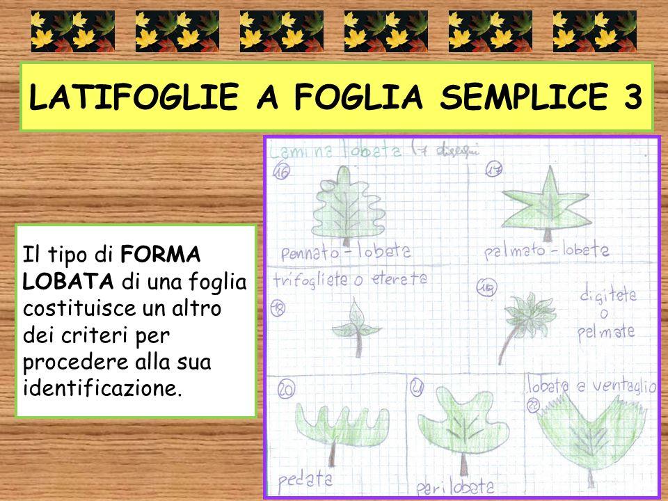 LATIFOGLIE A FOGLIA SEMPLICE 3