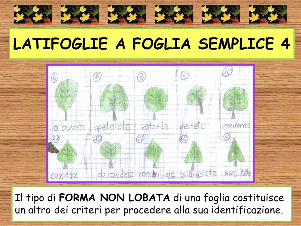 LATIFOGLIE A FOGLIA SEMPLICE 4