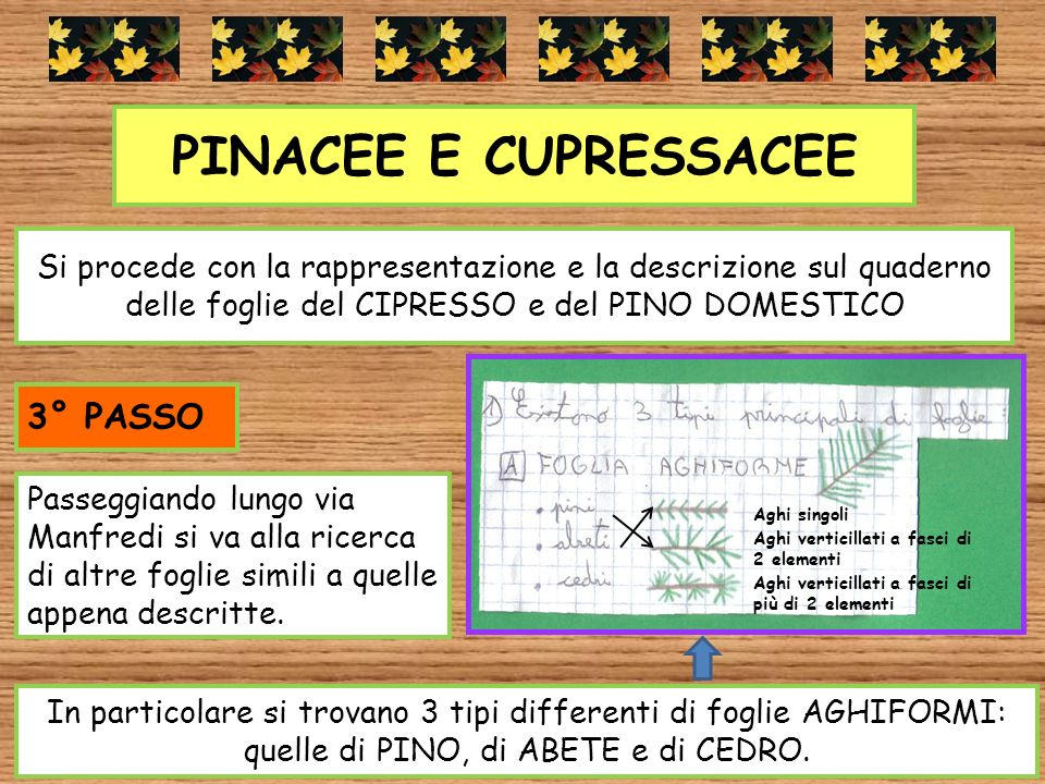 PINACEE E CUPRESSACEE 3° PASSO