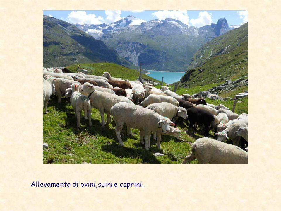 Allevamento di ovini,suini e caprini.