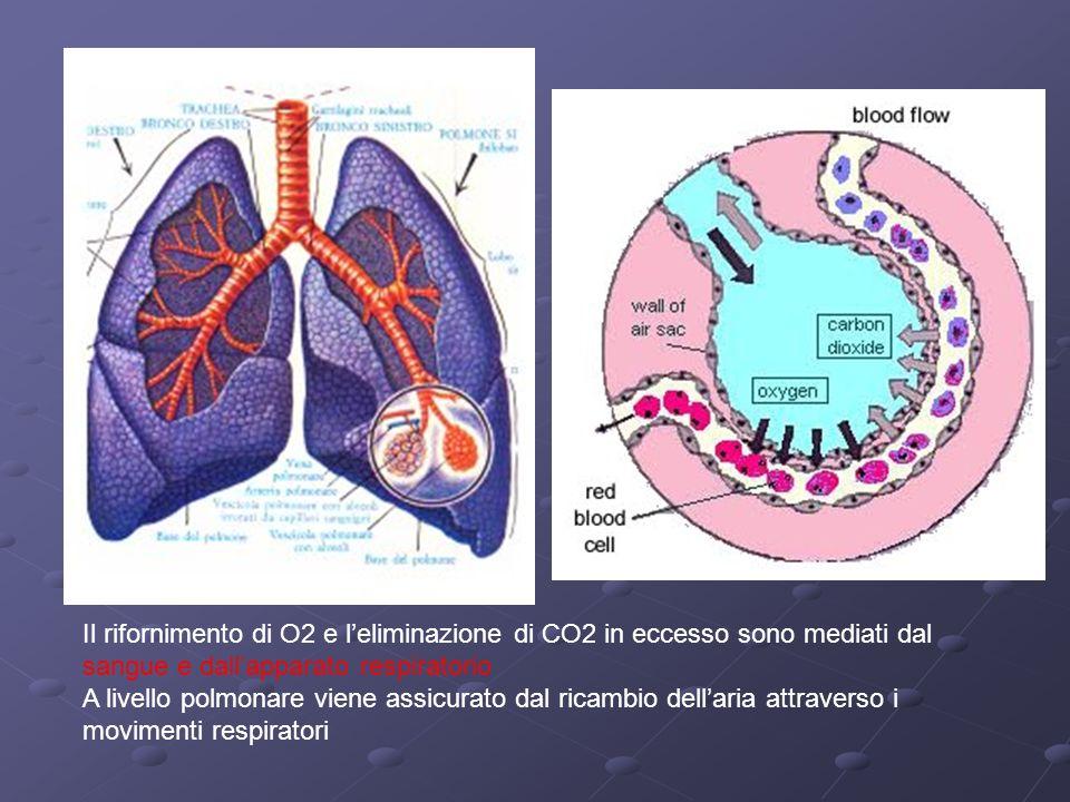 Il rifornimento di O2 e l'eliminazione di CO2 in eccesso sono mediati dal sangue e dall'apparato respiratorio
