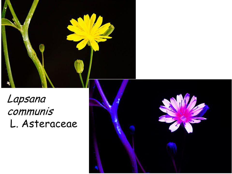 Lapsana communis L. Asteraceae