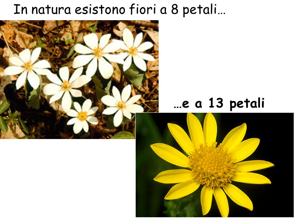 In natura esistono fiori a 8 petali…