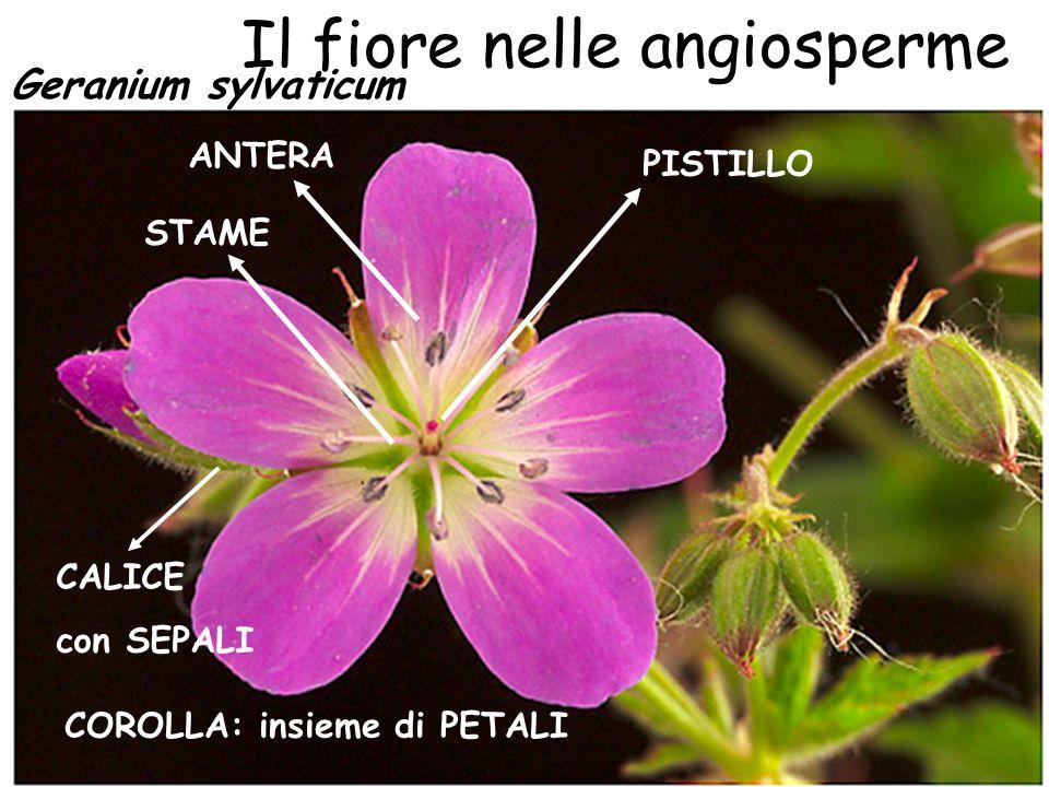 Il fiore nelle angiosperme