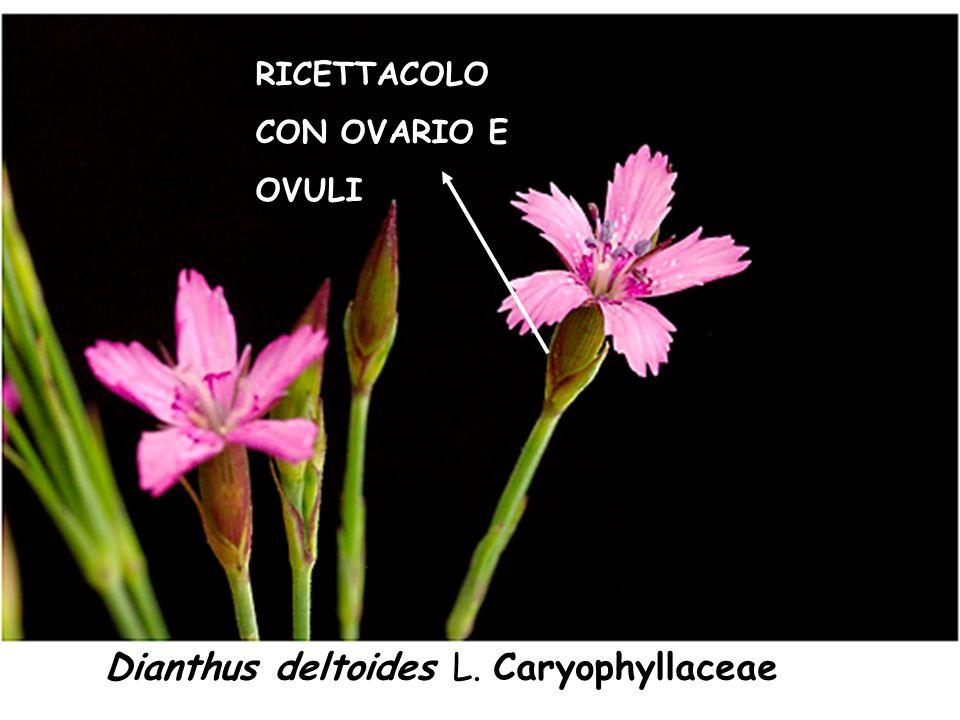 Dianthus deltoides L. Caryophyllaceae